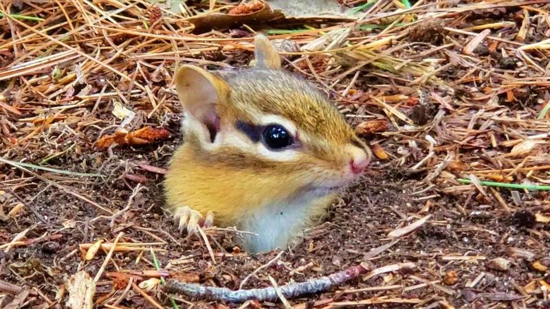 클레오파트라처럼 긴 아이라이너가 귀에 닿을 것 같은 아기 다람쥐 Like Cleopatra Baby Chipmunk