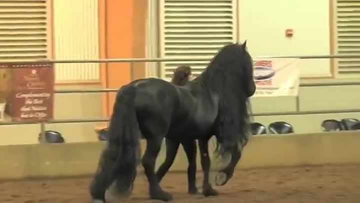 Выставка Фризской лошади