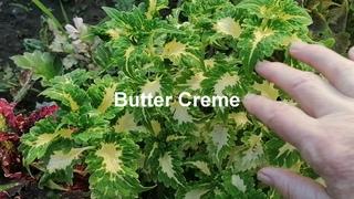 Колеусы P;neapple Queen  Butter Kreme  Blairs Witch  Gilda  Chelsee Rose  Kona Red  MR Boulevard