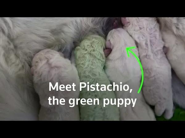 Unfur gettable Puppy with green fur born in Sardinia
