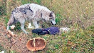 Волк подкрался к девушке собирающей ягоду, то что произошло дальше, удивило даже охотников!