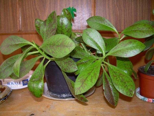 Синадениум Синадениум (Synadenium) еще один представитель семейства Молочайных. Это декоративно-лиственное растение выходец из Южной Африки. Синадениум относится к суккулентным кустарникам.