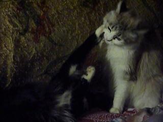 Сафира и Берлиоз. Больше с Сафирой никто из котовьих не общается