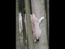 Luchs klettert Baum runter