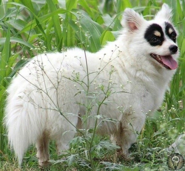 Эта собака в «маске» получила прозвище Зорро благодаря уникальным черным пятнам, покрывающие ее глаза Четырёхлетняя дворняжка из Пакистана выходит на прогулку и ловит на себе удивлённые взгляды