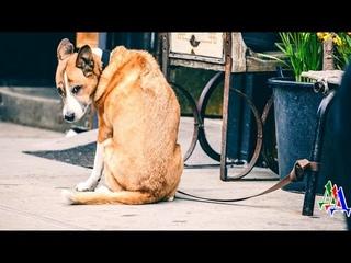 Хозяйка оставила привязанного пса возле магазина - он лежал и грустно поскуливал