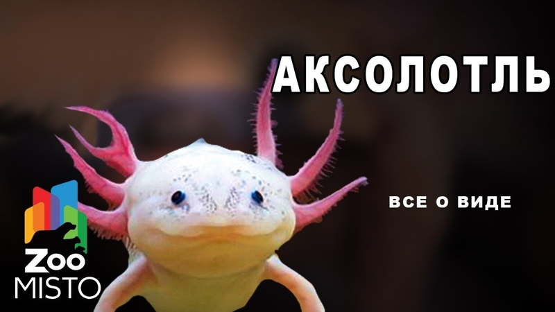Аксолотль Все о виде амбистом Вид амбистом Аксолотль