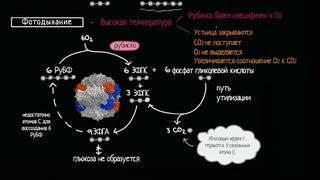 Фотодыхание (видео 6)| Фотосинтез | Биология