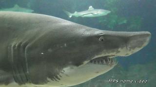 Океанариум в Адлере. Шоу русалок(видовой фильм). /Sochi Discovery World Aquarium. HD