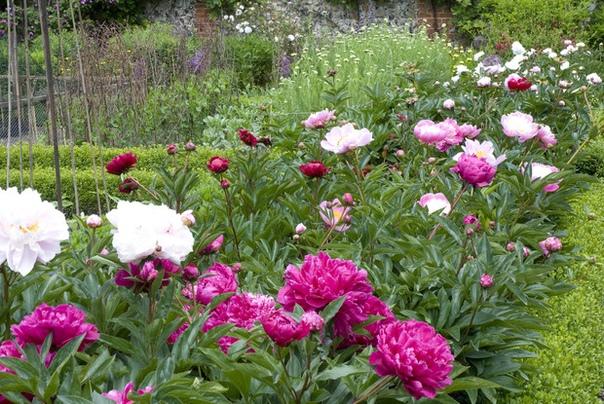 Как создать клумбу с пионами, с чем посадить эти цветы