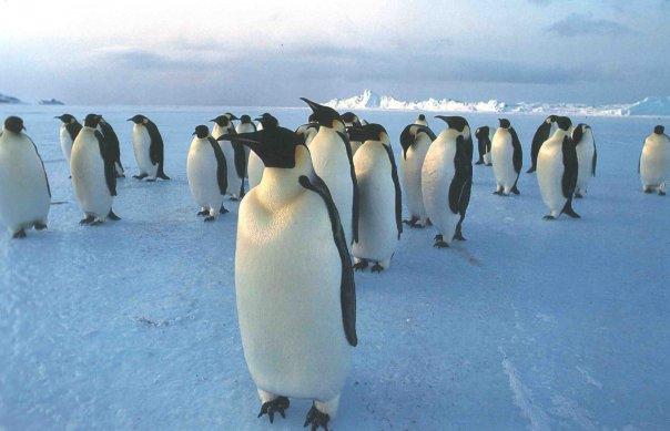смотреть фотографии пингвинов и белых мишек задумываетесь вложении