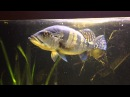 800 liter cichla polypterus datnioides and more