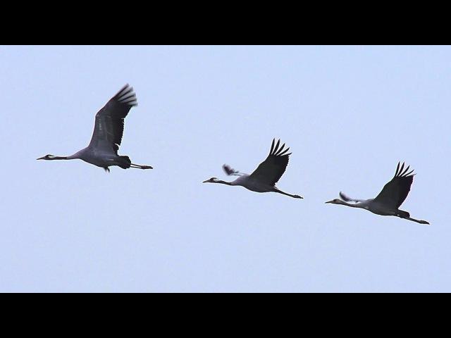 Журавли. Осень. Common crane. Autumn.