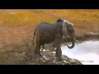 Жизнь бегемота 03 Два Hippo в одной ванне вызвали общий интерес :) Слона   охватила страсть к самцам