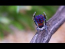 Watch The Sexy Dance Moves of Male Peacock Spiders National Geographic