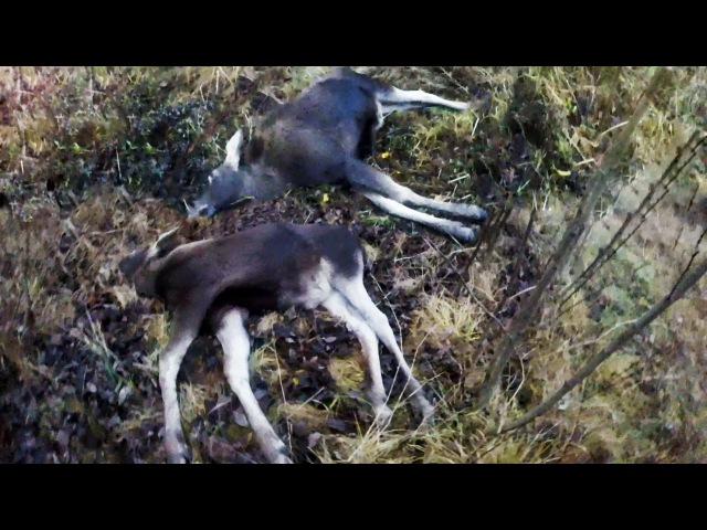 Охота 59 загонная два лося