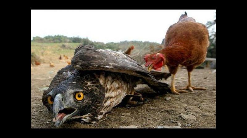 Epic Eagle Hawl vs Bird vs Chicken vs Crow ➽ Wild Animals Attack People