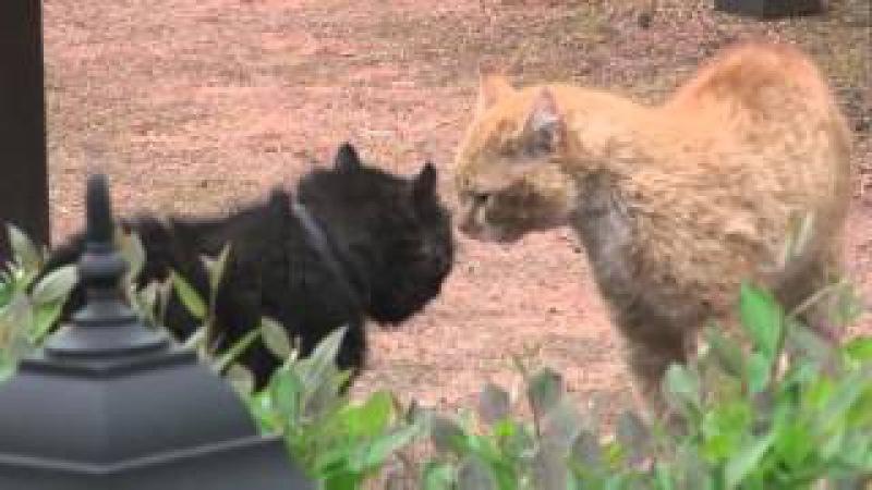 Драка котов, с озвучкой из фильма ! Ржач, смотреть всем!