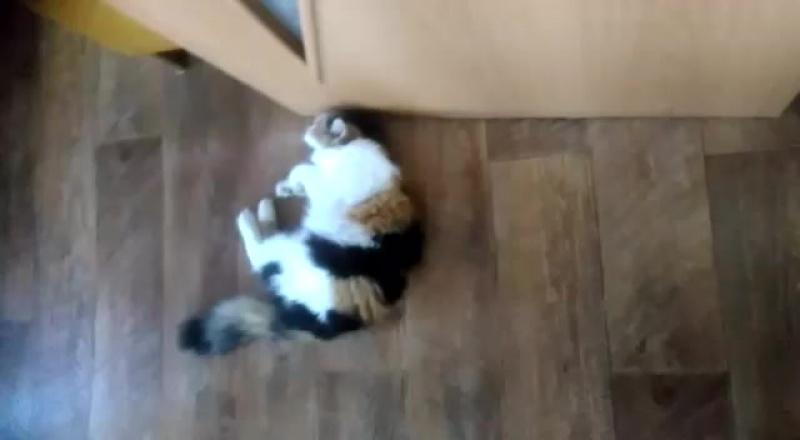 Моя новая трехцветная кошка в деревне зовут Ксюша