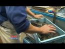 Рыба тетрадонт Фугу Фахака рискованный деликатес Fugu fish risky Japanese delicacy フグ
