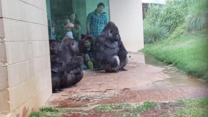Gorillas are magnificent, majestic creatures full of grace and beauty... except when it rains 😂