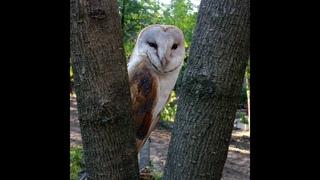 Прогноз погоды МАРТ 2019 от совы сипуха БУБЛИК:) + крутые фотки:)  barn owl