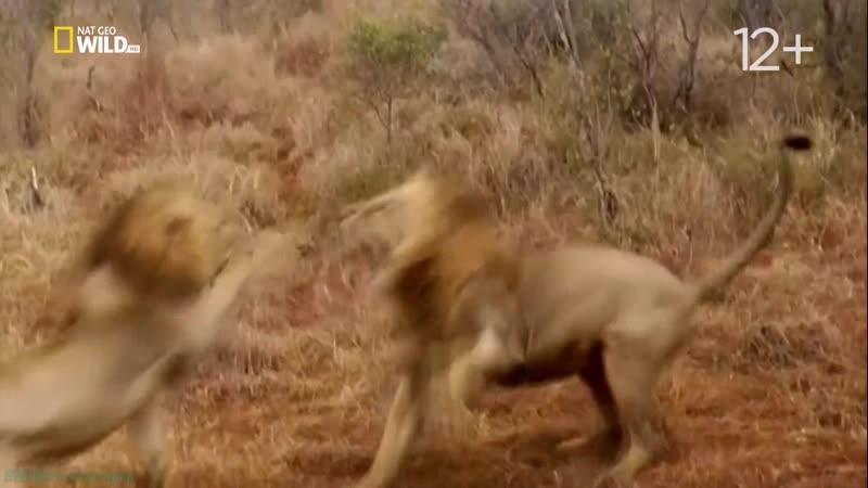 Бойцовский клуб для животных 24 Рискни или умри Познавательный природа 2016
