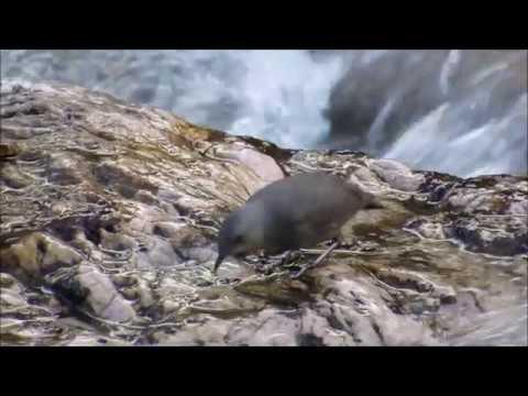 Rufous throated dipper Рыжегорлая оляпка Cinclus schulzi