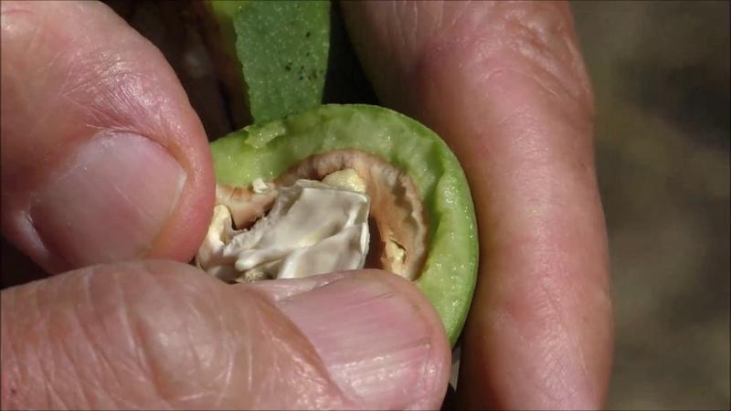 Посещение орехового сада из сеянцев Осмотр перспективных форм Коновалюк О В Август 2019