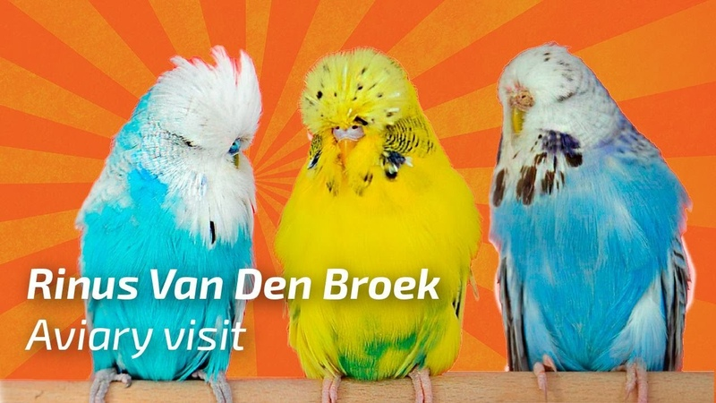 Rinus Van Den Broek 2017 Budgie Planet Exhibition Budgies Periquito Ingl s