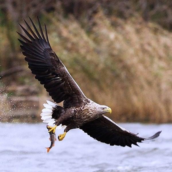 дваждыперистая орлан белохвост фото и описание долго упорно боролись