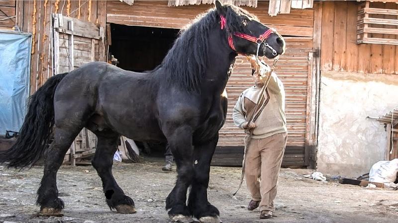 Cai grei armăsar pentru montă 2019 calul lui Dany Gura Humorului