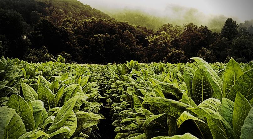 История табака!, изображение №1