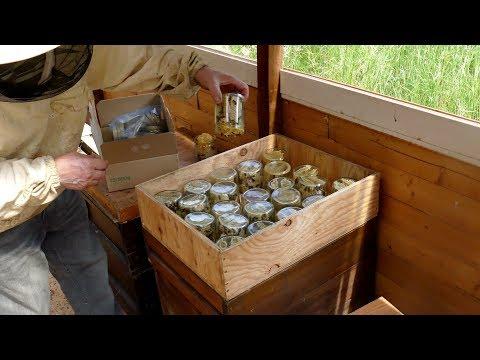 Bienen sammeln Honig in`s Glas/Пчелы собирают мед в Банку/Bees collect honey in the glass