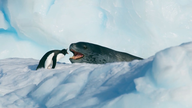 Tiny Penguin Makes a Deadly Dash From Giant Leopard Seal Seven Worlds One Planet BBC Earth
