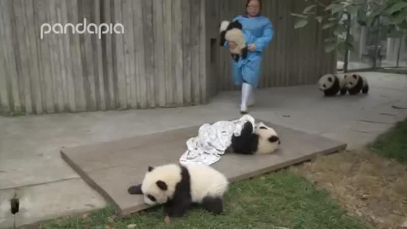 Pandas and their