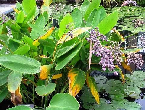 Талия  цветок водного мира