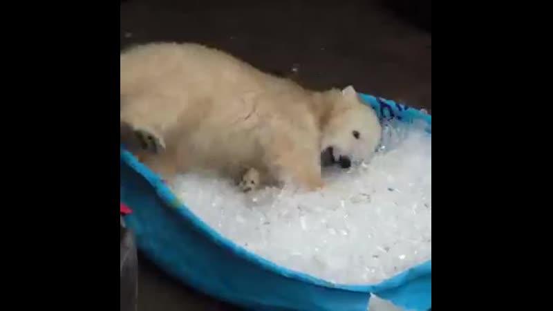 Белый медведь, жара, июль...