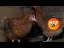 Нижнекамским птицеводам рекомендовали начать забой из-за ситуации с птичьи гриппом