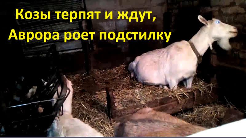 Козы терпят и ждут Аврора роет подстилку