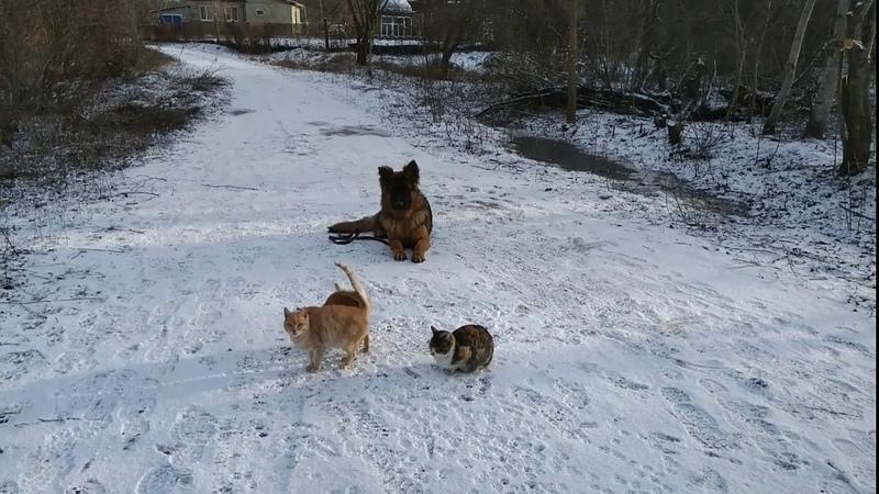 Немецкая овчарка 9 месяцев Ральф! Железная выдержка с котами!