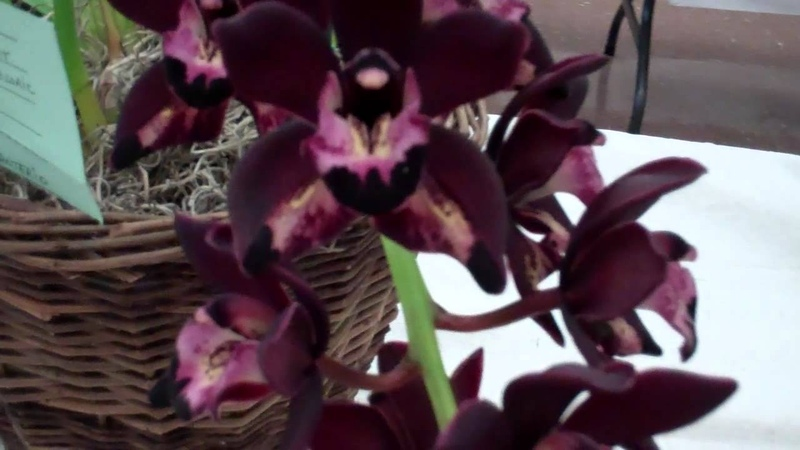 Golden Gate Cymbidium Society Orchid Show Part 3