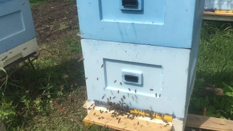 Активный облет молодой пчелы открыл доп леток