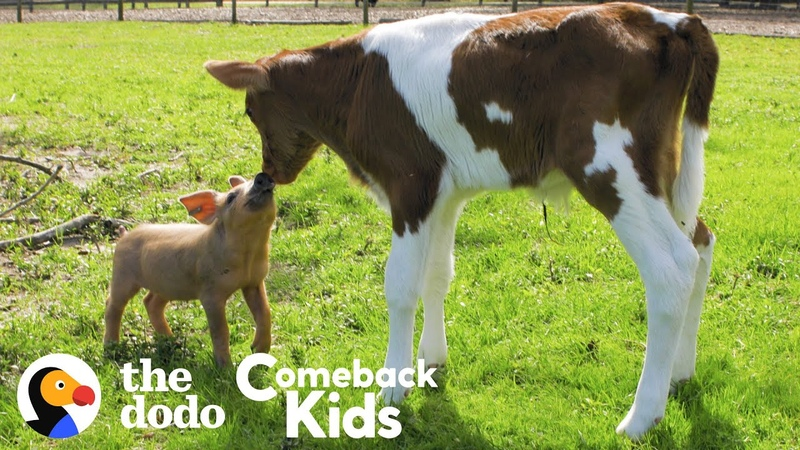 Tiny Piglet's Whole World Changes When She Meets This Baby Cow The Dodo Comeback Kids