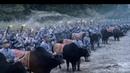 中国战争电影 水牛绑刀上前线,,中国古兵法的火牛阵,给鬼子彻底打惜逼