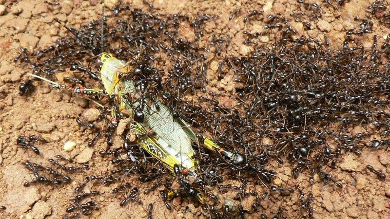 Самые опасные колонии муравьев! Бегите если встретите такого муравья!