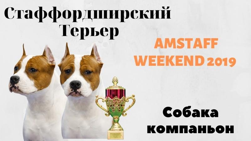 Американский Стаффордширский терьер чемпионат AMSTAFF Weekend