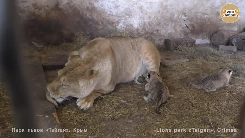 Львица Лола из Челябинска родила тройню. Lioness Lola from Chelyabinsk gave birth to triplets. (720p)