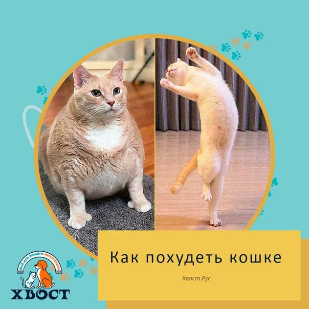 Как Сбросить Вес Кошек. Как коту похудеть: простые и действенные методы, диета, питание и уход