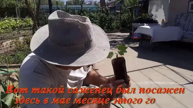 Подведение итогов выращивания молодого куста винограда для второго яруса беседки